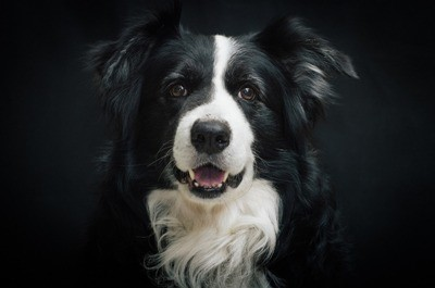 Maggie My Border Collie